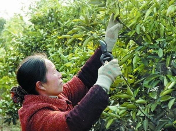 2月14日,桂林市資源縣果農趙二秀在修剪被凍壞的臍橙樹。 罕見雨雪冰凍天氣造成廣西880多萬畝農作物受災,地處桂北的桂林市受災最為嚴重。隨著天氣逐漸好轉,廣西干部群眾積極投身到恢復生產中,盡可能減少損失。 新華社記者 王 勉攝