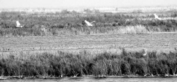 3只白枕鹤在黄河三角洲湿地上空飞翔。 近年来,山东省东营市对黄河口湿地生态采取了一系列保护和治理措施,黄河三角洲湿地生态环境得到明显改善,保护区的鸟类日益丰富,每年来这里的候鸟约达400万只。 新华社记者 范长国摄