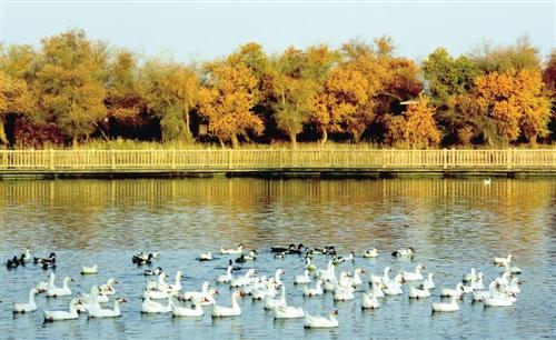 深秋时节,在巴楚县叶尔羌河中,下游的广袤地区,连片的胡杨树林景色图片