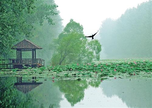 山东微山湖湿地红荷风景区内,睡莲,荷花陆续盛开. (资料图片)