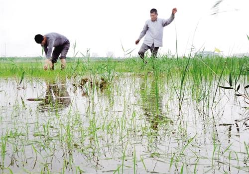 下图 6月15日,山东省滨州市北海经济开发区,农民正在红海农场水稻田